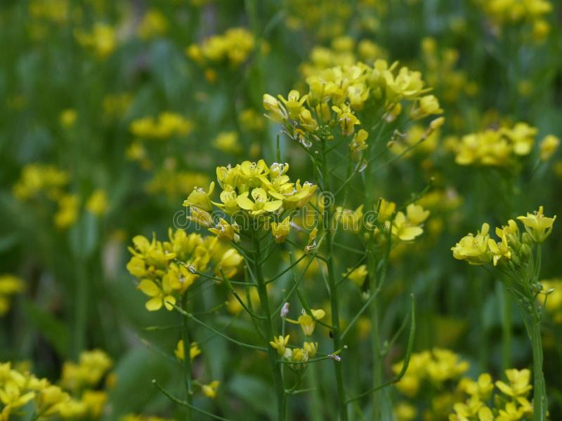 Kantonese bloem in tuin royalty-vrije stock foto