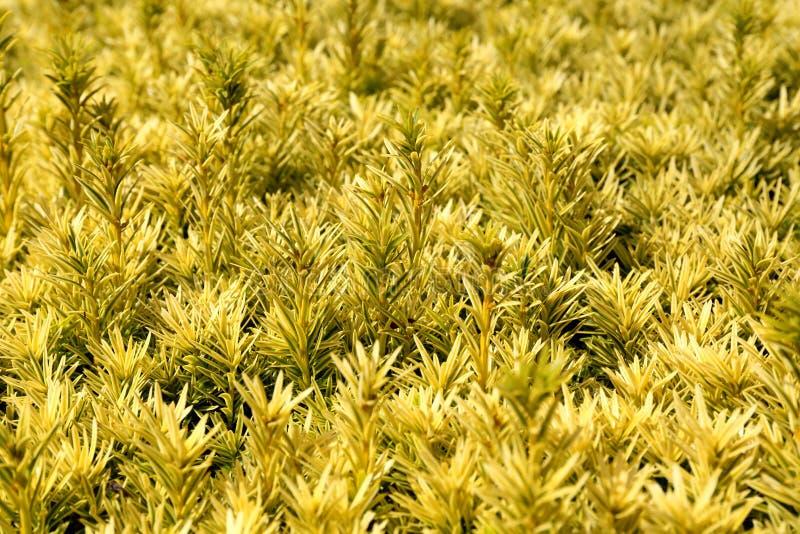 Kanyler av ett tallträd fotografering för bildbyråer