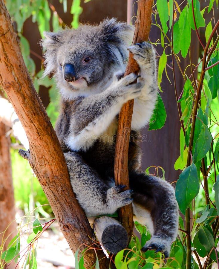 Kaola die op een boom wordt gerust royalty-vrije stock fotografie