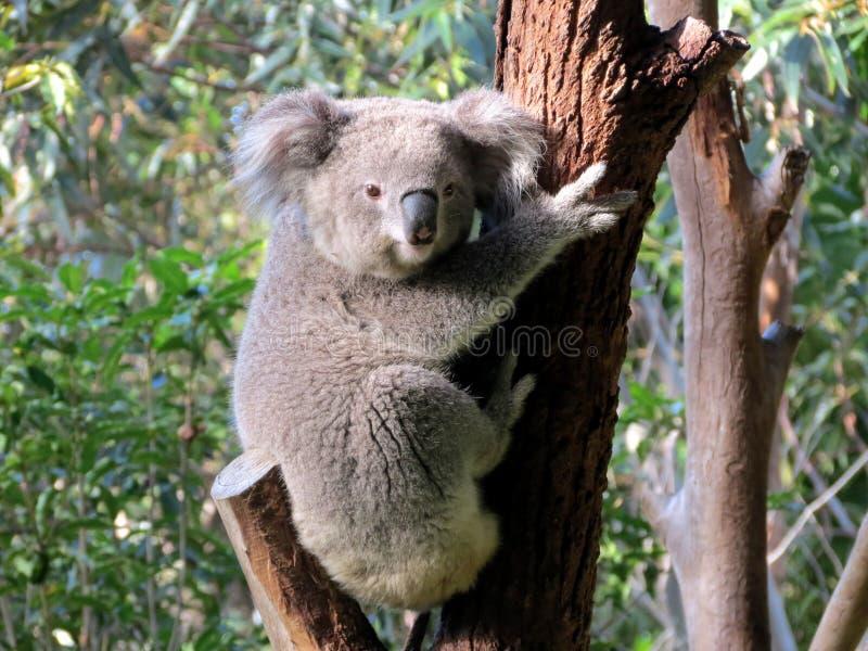 Kaola stand auf einem Baum still lizenzfreies stockfoto