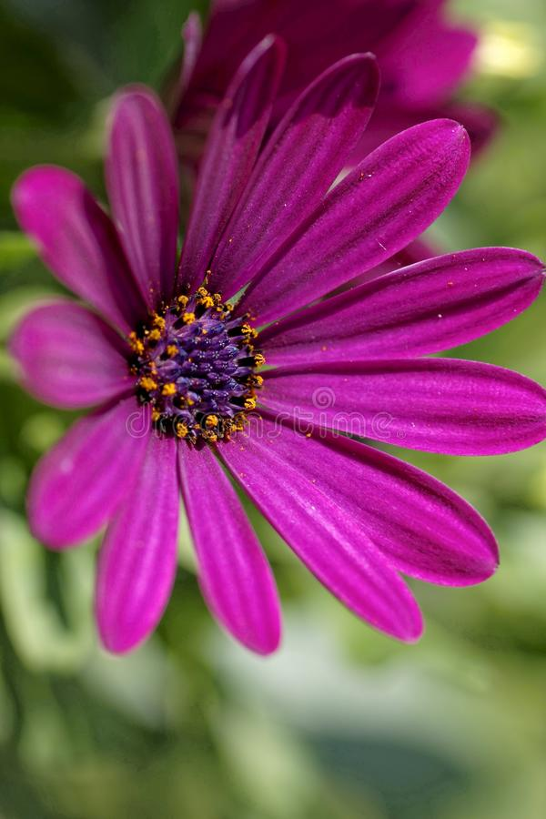 Pink Kap-Margerite. Osteospermum - Daisy - close-up of the pink blossom royalty free stock photography