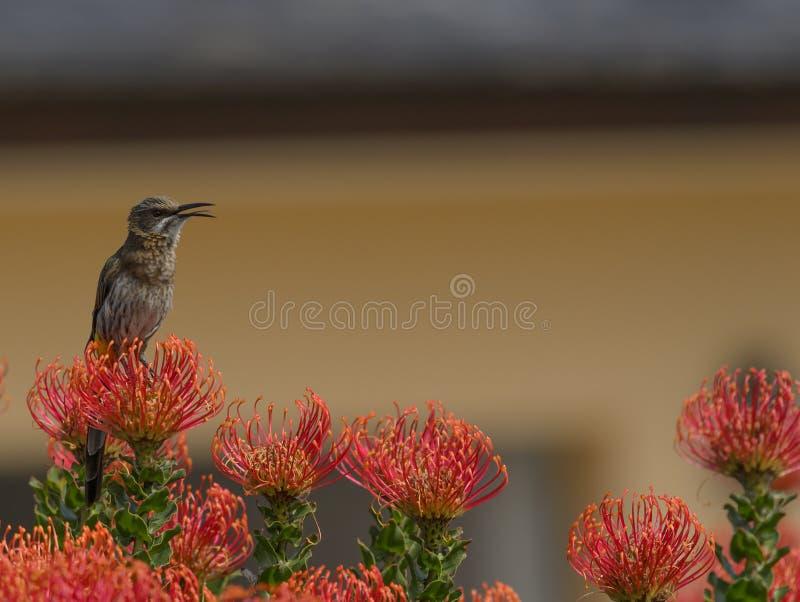 Download Kap Sugar Bird, Promerops-cafer, Sitzend Auf Orange Stift-cushio F Stockfoto - Bild von endemisch, berg: 106801492