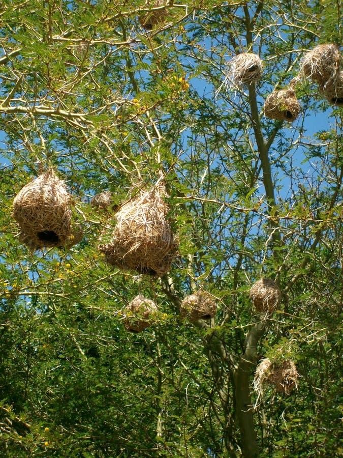 Kap Weaver Nest stockbilder