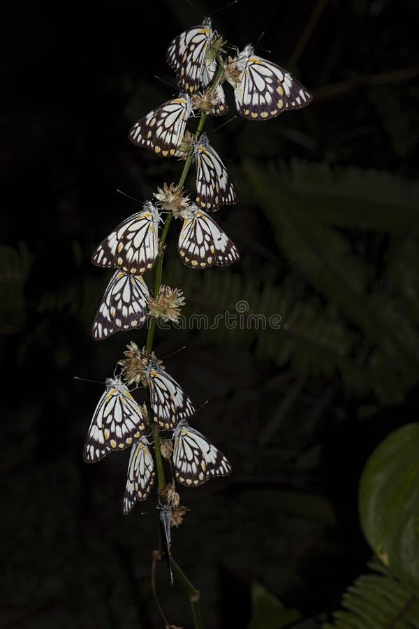 Kaparowy biały motyl przy nocą obraz royalty free