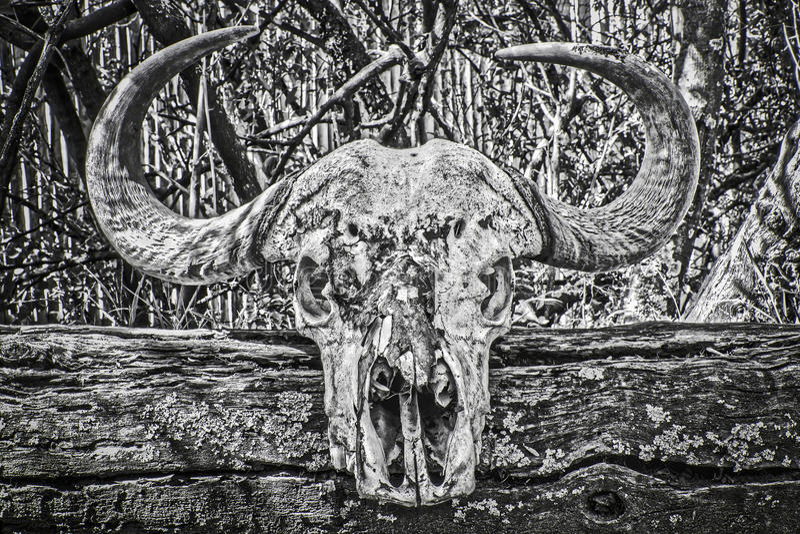 Kapbüffelschädel stockfotos
