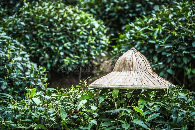 Kapelusz jest na zielona herbata liściach, Świezi herbaciani liście w zielonej herbaty gospodarstwie rolnym fotografia royalty free