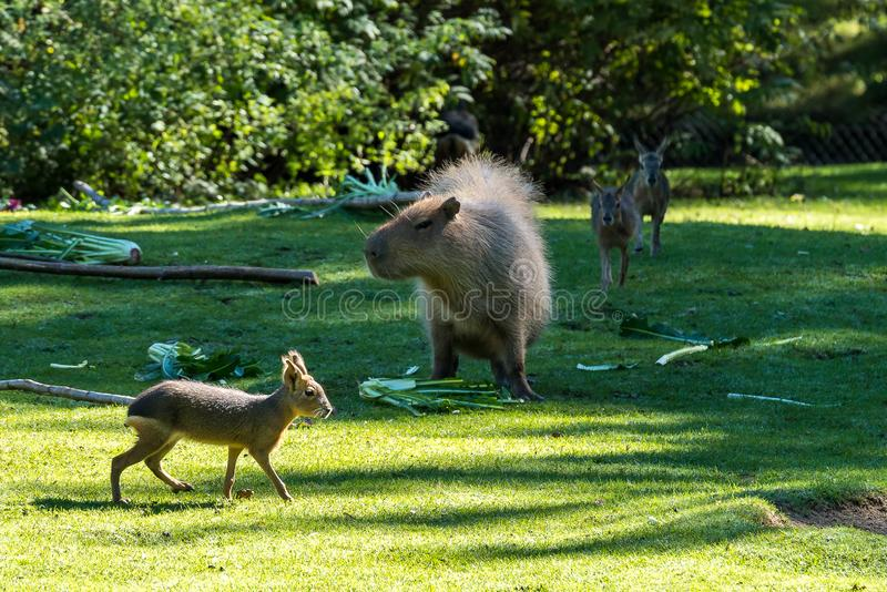 Kapibara, Hydrochoerus hydrochaeris pasa na świeżej zielonej trawie fotografia stock