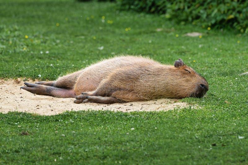 Kapibara, Hydrochoerus hydrochaeris pasa na świeżej zielonej trawie fotografia royalty free