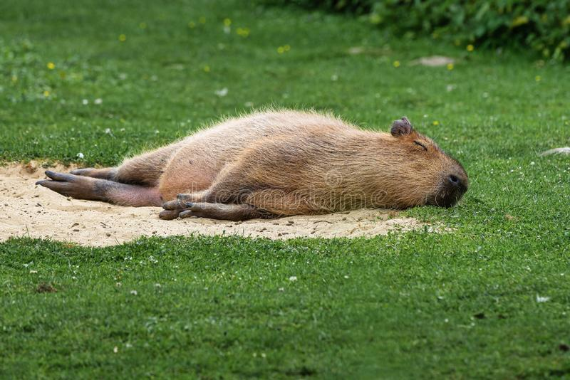 Kapibara, Hydrochoerus hydrochaeris pasa na świeżej zielonej trawie obraz stock
