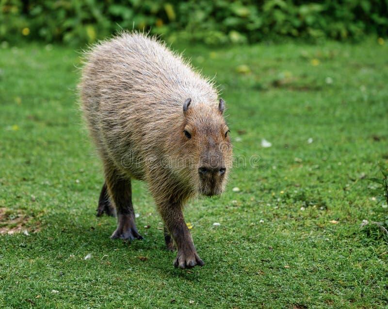 Kapibara, Hydrochoerus hydrochaeris pasa na świeżej zielonej trawie obraz royalty free