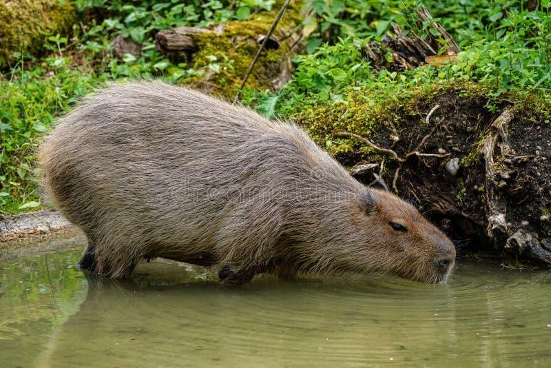 Kapibara, Hydrochoerus hydrochaeris pasa na świeżej zielonej trawie zdjęcia stock