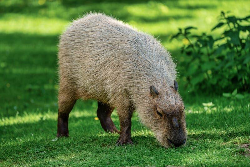 Kapibara, Hydrochoerus hydrochaeris pasa na świeżej zielonej trawie zdjęcie stock