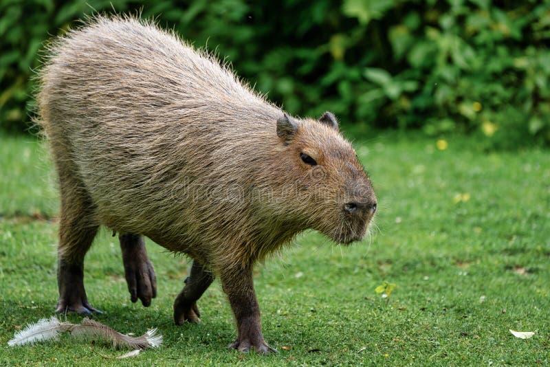 Kapibara, Hydrochoerus hydrochaeris pasa na świeżej zielonej trawie obrazy stock