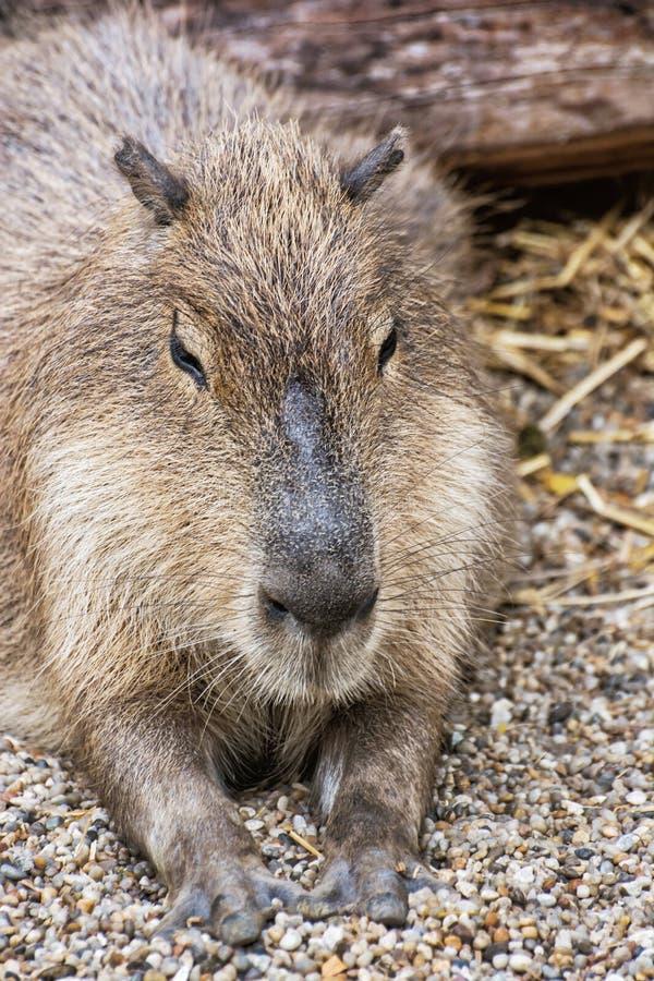 Kapibara portret - Hydrochoerus hydrochaeris, zwierzęca scena zdjęcia royalty free