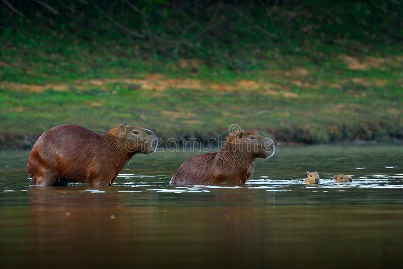 Kapibara, rodzina z dwa potomstwami, duża mysz w wodzie z wieczór światłem podczas zmierzchu, Pantanal, Brazylia Przyrody scena o zdjęcia royalty free