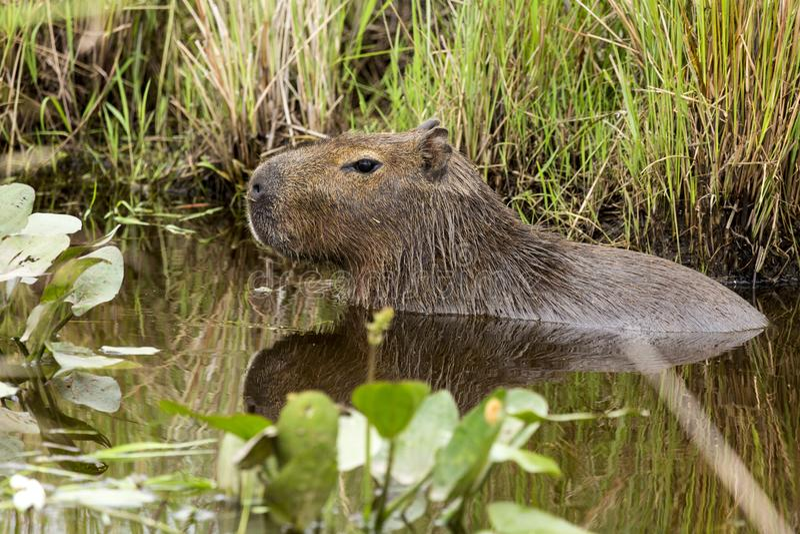 Kapibary Hydrochaeris hydrochaeris zdjęcie royalty free