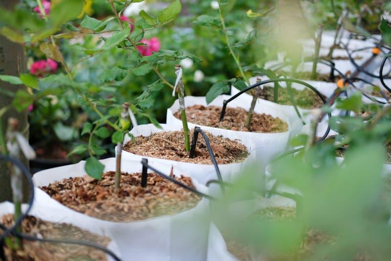 kapinosa wodny system irygacyjny z róży rośliny dorośnięciem w szklarni fotografia royalty free