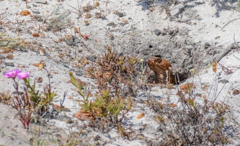 Kapkobra stockfotografie