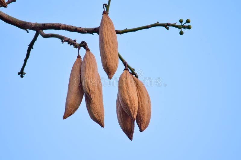 Kapok Ceiba pentandra. cotton seeds on a brown tree stock image