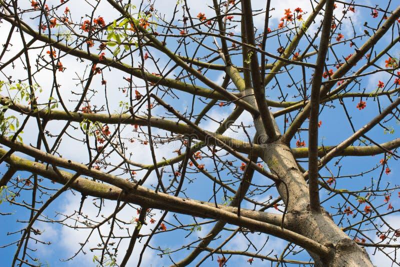 Kapok, common tree in Hong Kong, China. Kapok with sky background, common tree in Hong Kong, China stock photos