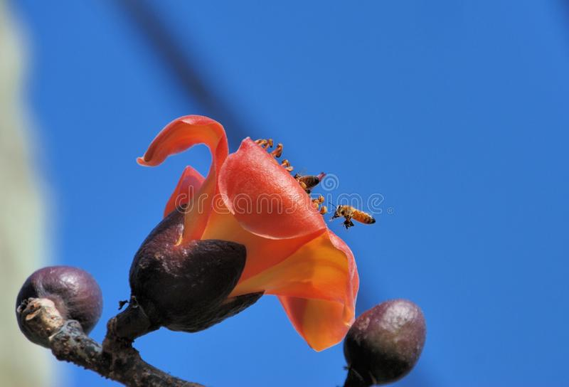 Bombax ceiba & bee stock image  Image of flower, malabaricum - 31234961
