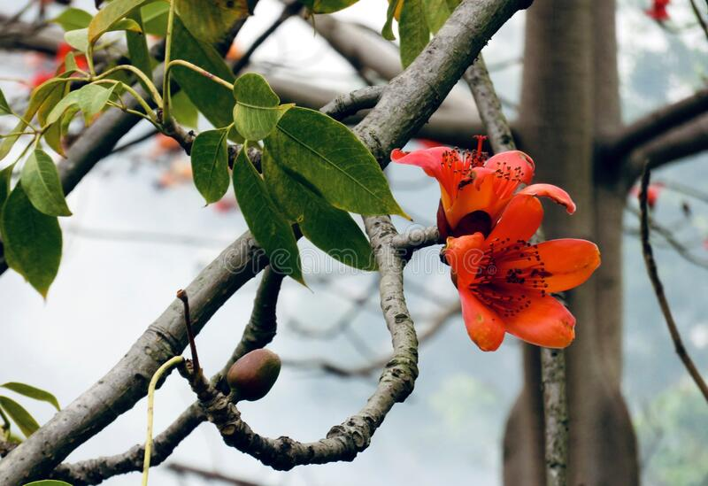 Kapok in Guangzhou. Kapok, the city flower of Guangzhou. It is cultivated in many places in the south, especially the streets and alleys of Guangzhou, which can royalty free stock image