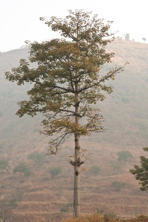 Kapok tree. Drop the leaves of the kapok tree stock photo