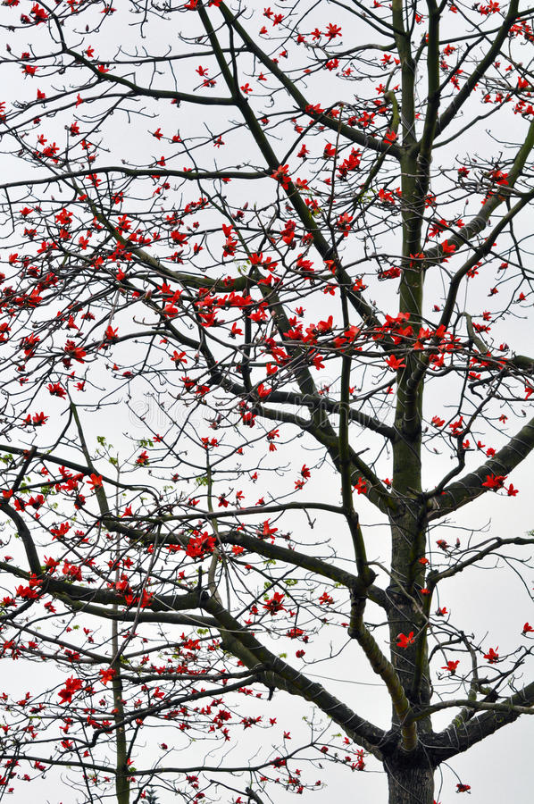 Kapok tree. A big kapok tree is flowering in springtime stock photo