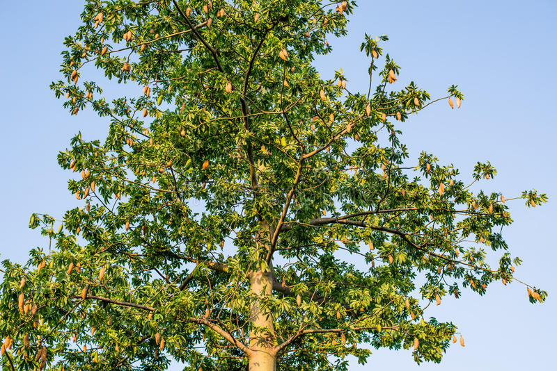 Kapok on tree with blue sky background. Kapok on tree in natural with blue sky background royalty free stock photography