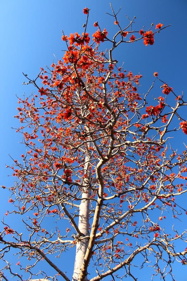 Kapok tree or Bombax ceiba. Found in Thailand royalty free stock photos