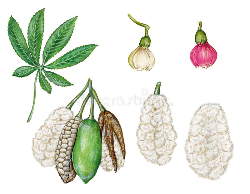 Kapok tree Ceiba pentranda. Realistic illustration of leave, fruit, flower of kapok tree Ceiba pentranda stock illustration