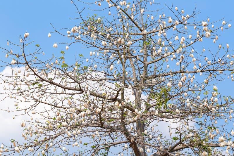Kapok tree. Kapok cotton tree blossom with blue sky background royalty free stock photo