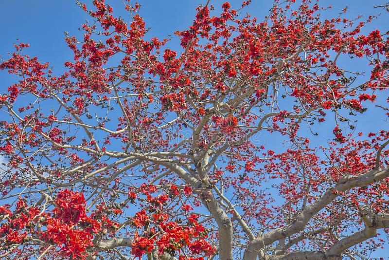Kapok Tree In Full Bloom Background. Background of a large Kapok tree in full bloom with red flowers over blue sky stock photo