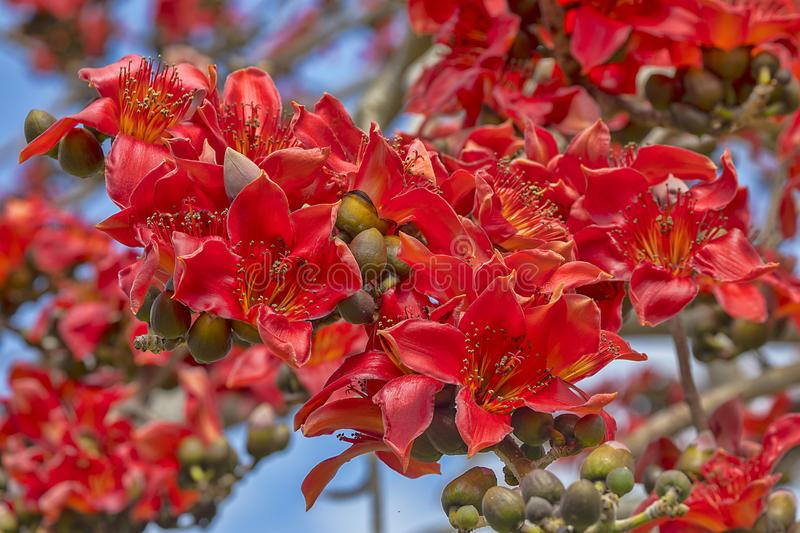 Kapok Tree Red Flower Cluster. Closeup of a Kapok Tree red flowers cluster stock image