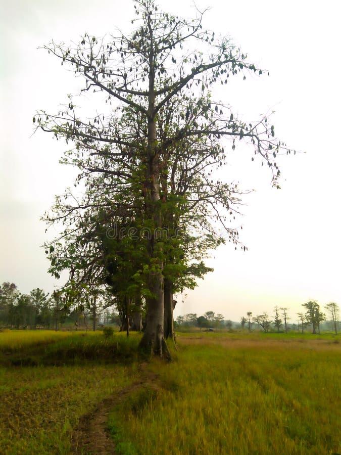 The kapok tree. Rice-field, fresh, green, nature royalty free stock image