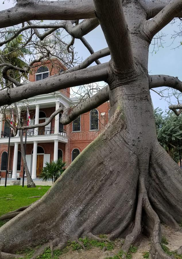 Kapok tree trunk in Floriday. Old kapok tree in front yard of old brick building in Key West Florida stock photo