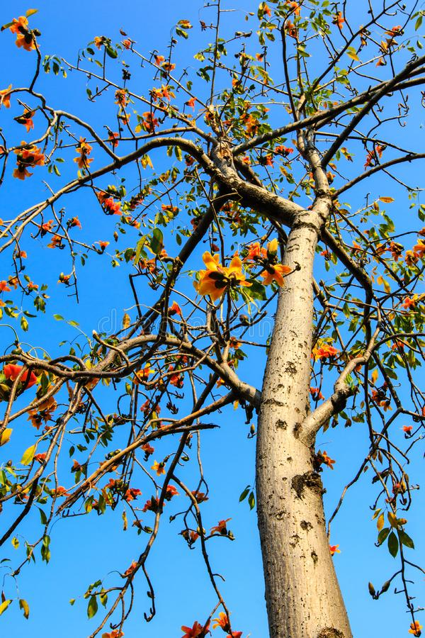 Kapok tree. Under the blue sky stock photography