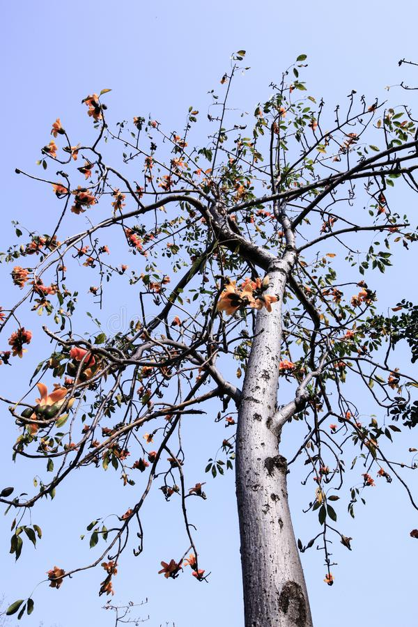Kapok tree. Under the blue sky royalty free stock photo