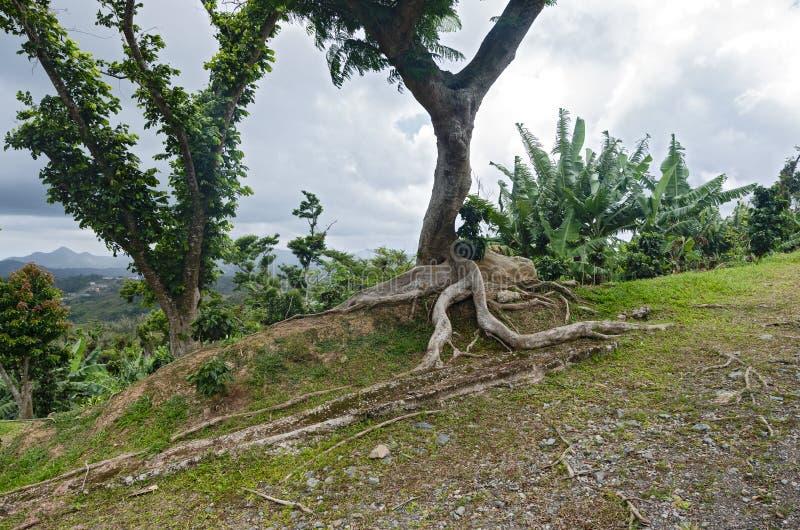 Kapok Tree and Vegetation Atop Hillside Clearing Near Ponce. Kapok tree or ceiba pentandra and vegetation on hilltop of cordillera central near ponce puerto rico royalty free stock photos