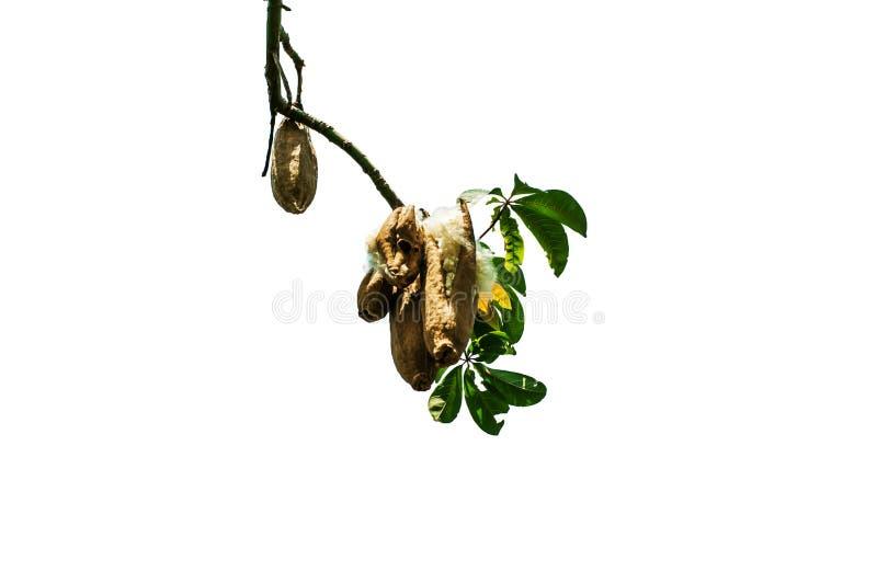 Kapok on tree. With white background stock image