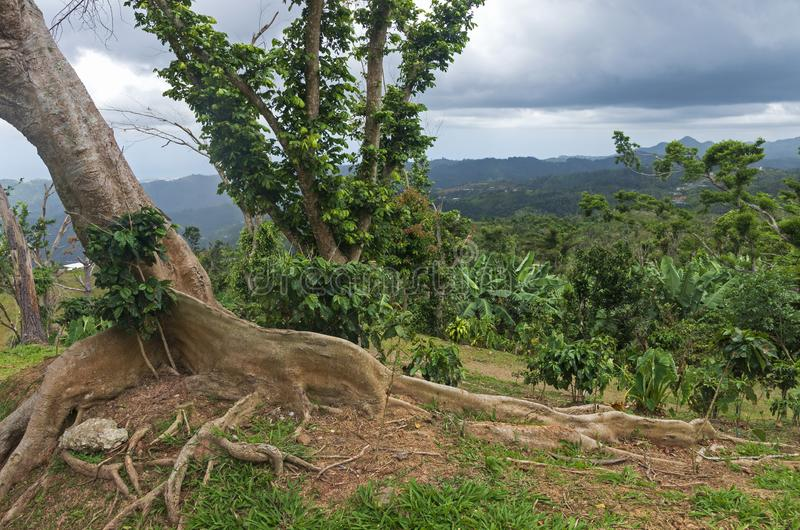 Kapok Tree and Wooded Hills in Ponce. Kapok tree or ceiba pentandra on hilltop of cordillera central in ponce puerto rico stock photography