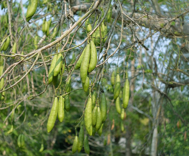 Kapok, wite silk cotton tree Ceiba pentandra stock photography