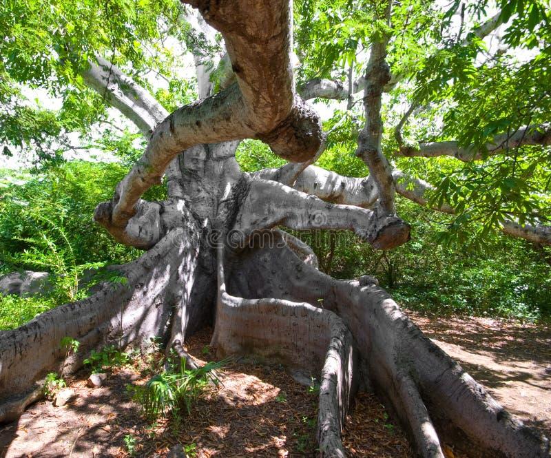 kapoka antyczny drzewo zdjęcia royalty free