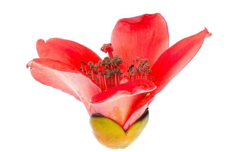 Kapoka okwitnięcia bombax ceiba kwiat zdjęcia royalty free