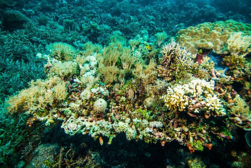 Kapoposang coral macio colorido Indonésia do mergulhador do mergulho autônomo subaquática fotos de stock