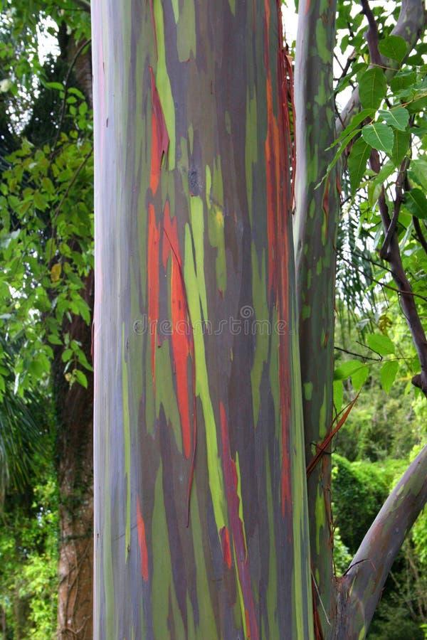 Kappau夏威夷五颜六色的树 免版税库存图片