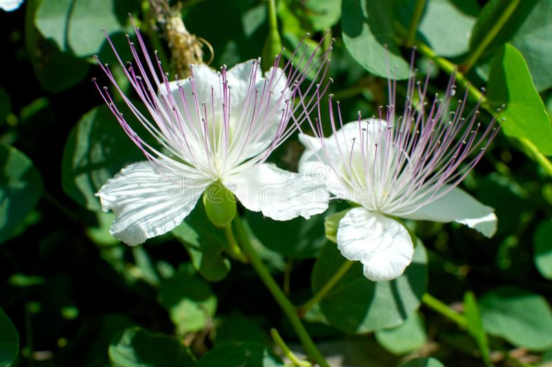 Kappertjesbloemen, Capparis-spinosa stock fotografie