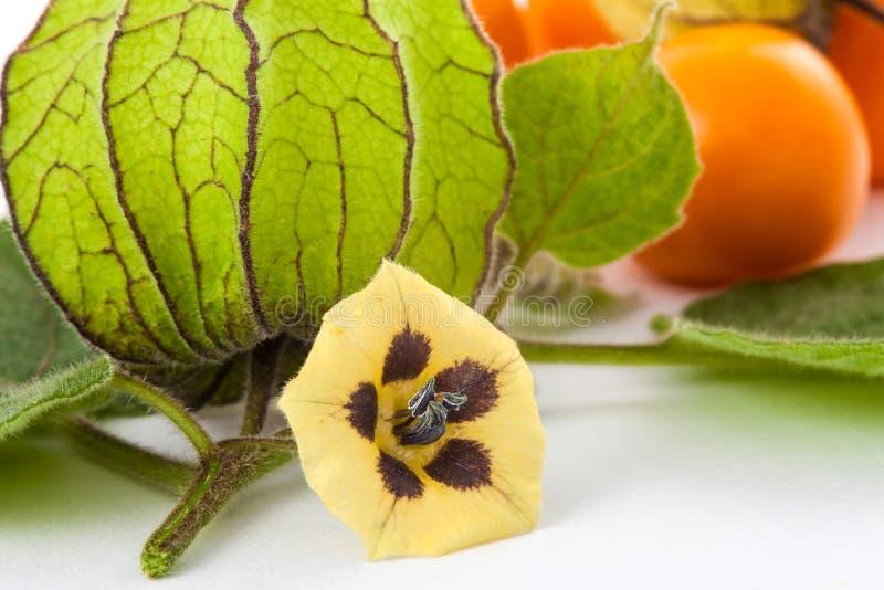 Kapstachelbeerfrucht, -blume und -kelch Physalis peruviana lizenzfreie stockfotos