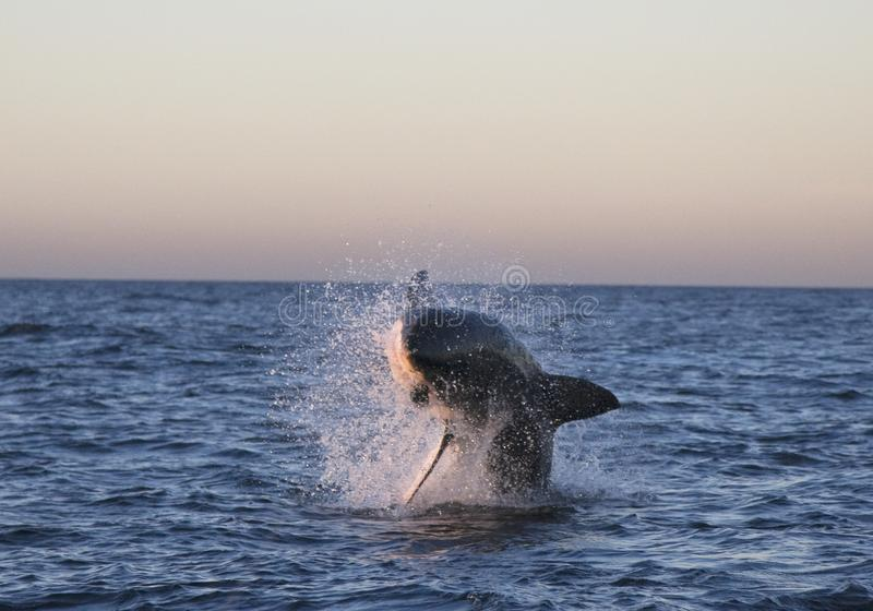 Kapsztad wielki biały rekin, jak ładny ono patrzeje zdjęcie royalty free