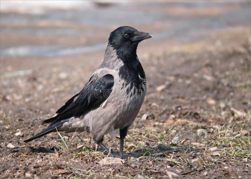 Kapturzaści wrona stojaki na mieszkanie ziemi obrazy stock